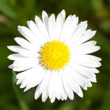 Macro of Marguerite Daisy flower Royalty Free Stock Image