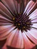 Macro marguerite rose avec les détails jaunes image stock