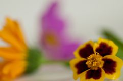 Macro marigold flower with calendula and pink flower royalty free stock images