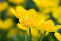 Macro of marsh-marigold Stock Photo