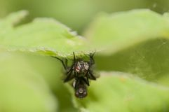 Macro Mating fly Royalty Free Stock Photos