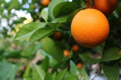 Macro maturo organico arancio con le foglie verdi unfocused nei precedenti fotografia stock