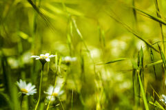 Macro of meadow of daisies in spring time. As background royalty free stock photo