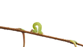 Macro of measuring worm. Small green looper crawling on twig isolated on white Stock Photography