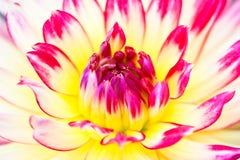 Macro mening van gele roze bloemdahlia stock afbeeldingen