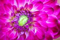 Macro mening van roze bloemdahlia royalty-vrije stock fotografie