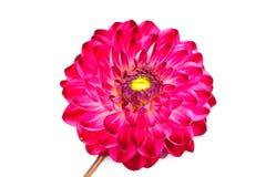 Macro mening van roze geïsoleerded bloemdahlia stock afbeeldingen