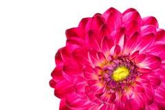 Macro mening van roze geïsoleerden bloemdahlia stock foto's