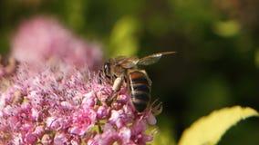 Macro metraggio del movimento lento dell'ape sul bello fiore rosa stock footage