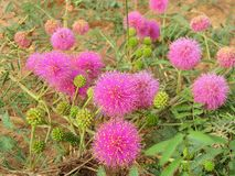 Macro: Mimosa nuttallii, the Nuttall`s sensitive-brier, catclaw brier or sensitive brier. Sensitive plant. Subfamily Mimosoideae stock photography