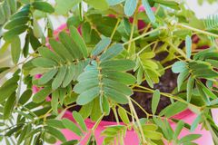 Macro of mimosa pudica in pink pot stock images
