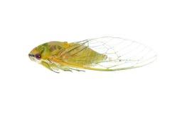 Macro minúscula de la cigarra del amarillo del insecto aislada Imagen de archivo libre de regalías