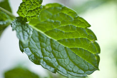 Macro Mint Stock Photography