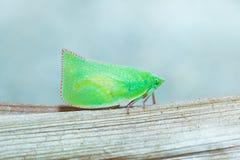 Macro modelé vert et jaune de scarabée photo stock