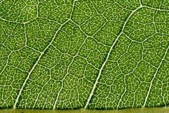 Macro modello della foglia di verde Fotografie Stock Libere da Diritti