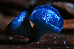 Macro mold fungi. Blue mushroom Stock Images