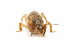 Macro of mole cricket Royalty Free Stock Image