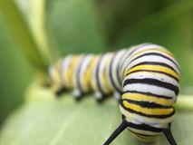 Macro monarque Caterpillar Image stock
