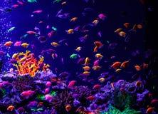 Macro mooie rerio van de vissendanio van vissenglo tetra royalty-vrije stock foto