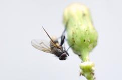 Macro mosca comune Fotografie Stock Libere da Diritti