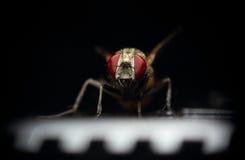 Macro mosca in scena Fotografie Stock Libere da Diritti