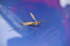 Macro mosquito Royalty Free Stock Image