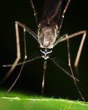 Macro of a mosquito Royalty Free Stock Photo