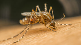 Macro of mosquito (Aedes aegypti) sucking blood Stock Photography