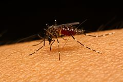 Macro of mosquito Aedes aegypti sucking blood close up on the Royalty Free Stock Photos