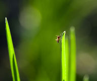 Macro of mosquito on grass blade Royalty Free Stock Photos