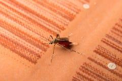 Macro of he mosquito sucking the blood full,dangerous mosquito , stock photo