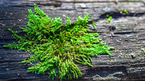 Macro moss. Autumn macro moss at bark Royalty Free Stock Photos