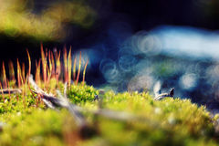 Macro moss beautifully blur Royalty Free Stock Photos