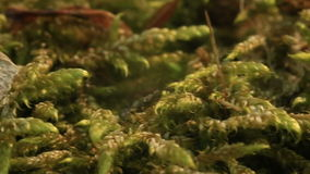 Macro of the moss Bryophyta. Macro tracking shot of the moss Bryophyta. The fragment of American maple's seed is in the end stock footage