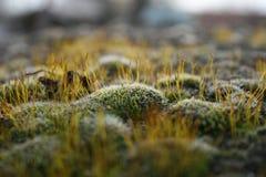 Macro moss Royalty Free Stock Photo