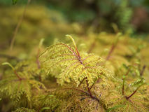 Macro of moss Royalty Free Stock Photos