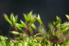 Macro moss Royalty Free Stock Photos