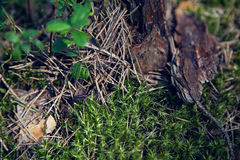 Macro moss, dry spruce needles, tree bark in a pine forest Royalty Free Stock Photography