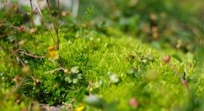 Macro moss, green Stock Photography