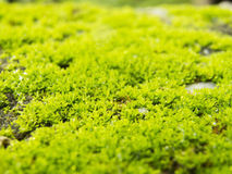 Macro moss Stock Photos
