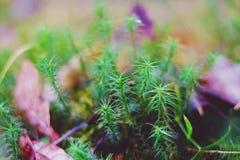Macro moss sphagnum. Macro, nature, plant grass natural Stock Image