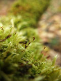 Macro of moss Royalty Free Stock Photography