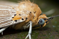 Macro Moth Stock Photos