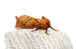 Macro of moth isolated on white Stock Photo