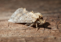 Macro of moth on wood Royalty Free Stock Photo