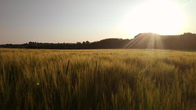 Macro moving view of golden wheat spikes` tops on beautiful sunset background.  stock video footage