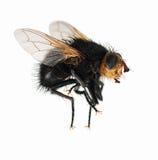 Macro muerta del primer de la abeja, sobre blanco Imagen de archivo