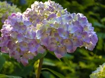 Macro of multicolored pink flowers of hydrangea macrophylla against the background of the flowering bush of hydrangea. royalty free stock images