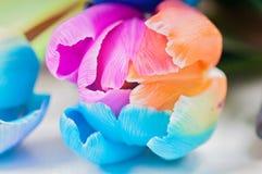 Macro of multicolored tulip Royalty Free Stock Photo