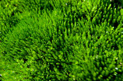 Macro muschio verde fotografia stock